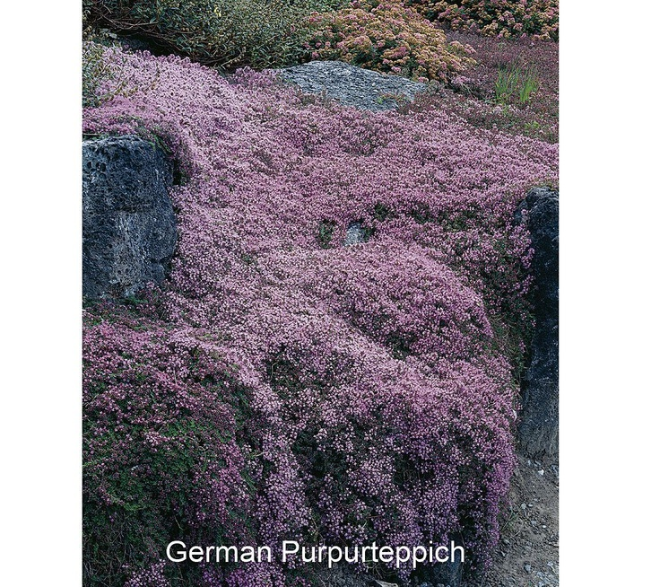 Roberta's 8-pc. Trample Me Flowering Creeping Thyme