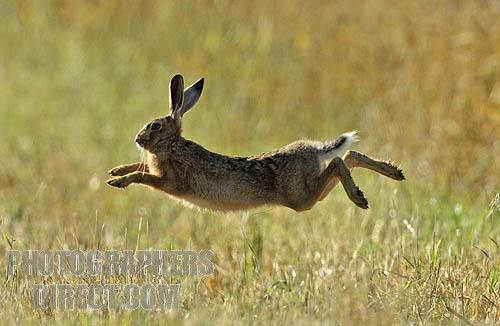 Brown Hare leaping in the morning sun in a wheat field in Bedfordshire England UK stock photo