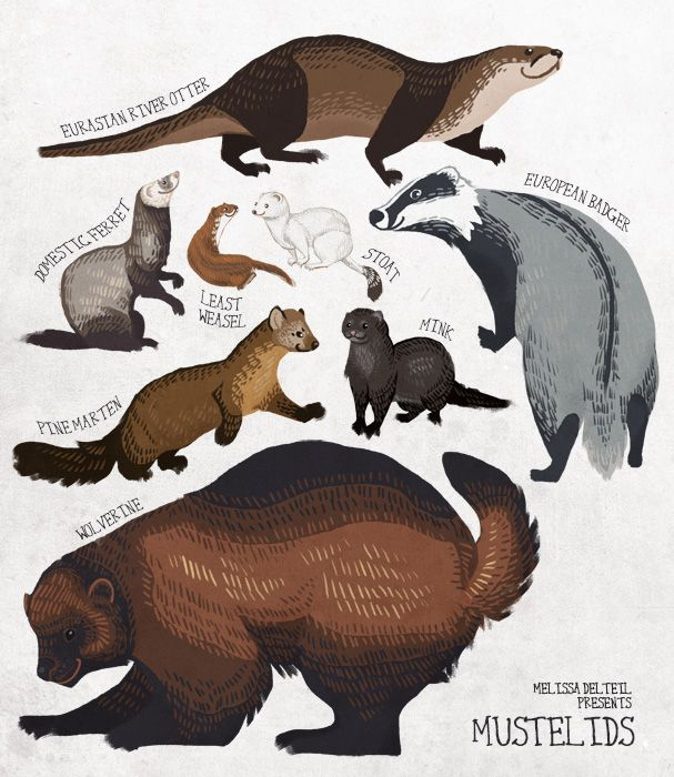 Mustelids are also known as the weasel family. They come