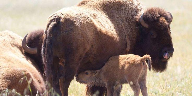 American Bison - Monarto Zoo