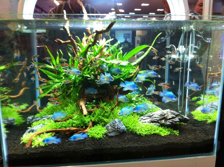 Aquascapes Featuring Ultra Blue Rams At Aquatics Live. Find This Pin And  More On Aquarium, Decor Ideas ...