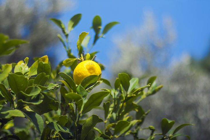 Formas de utilizar las hojas de limón | Muy Fitness