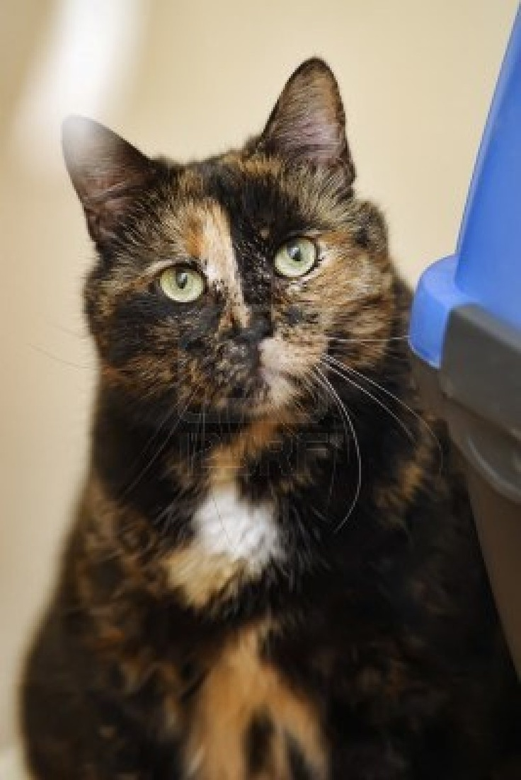 119 best tortie images on pinterest calico cats kittens and kitty cats - Images of tortoiseshell cats ...