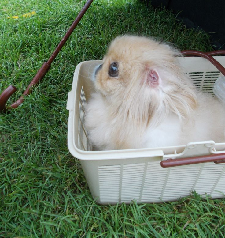 White Pekingese with pink ear in a basket - my Bonie at the walk  #Pekingese #dog #puppy