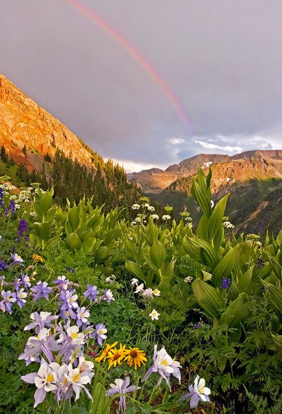 Yankee Boy Basin Wildflowers Ouray, Colorado