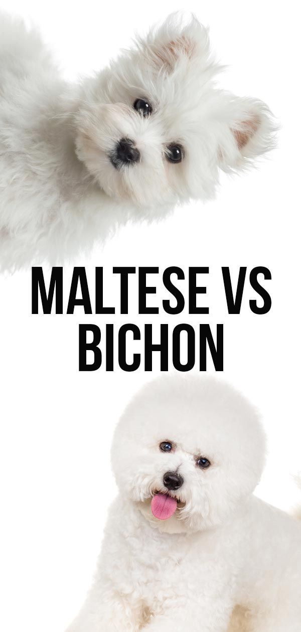 Maltese Vs Bichon Can You Tell These Little White Pups Apart Bichon Bichon Frise Hypoallergenic Dog Breed