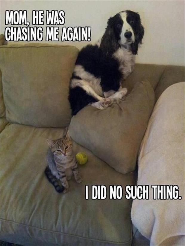 cat chasing dog funny pictures