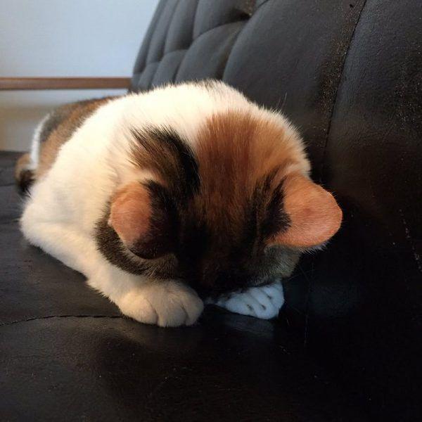"""「京都町家猫カフェ キャットアパートメント」の猫スタッフ""""きなこ""""さんの「ごめん寝 - Yahoo!ニュース(ねとらぼ)"""