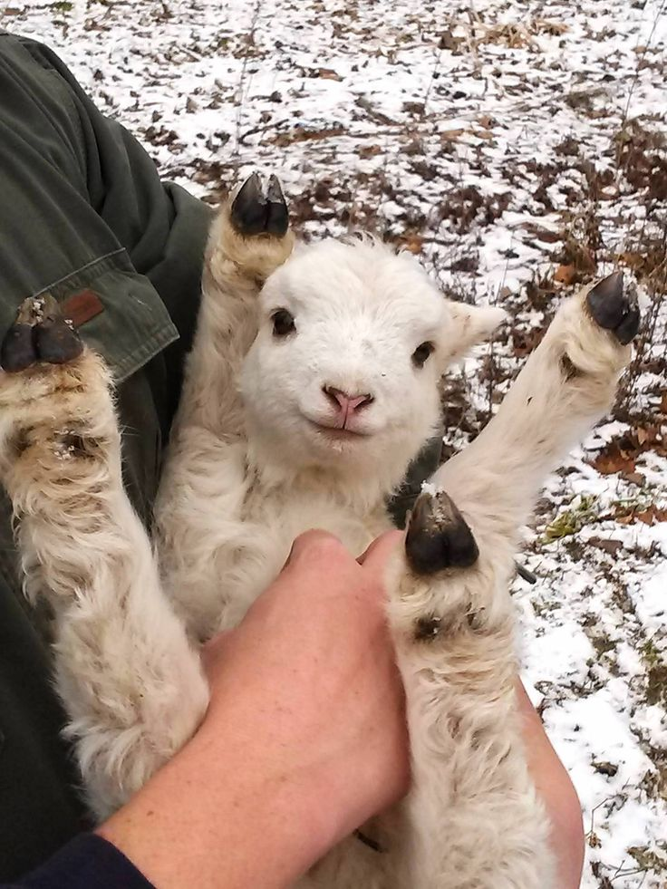 A tiny, happy, two-day-old lamb