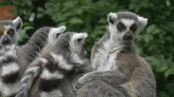Group of Lemurs Snuggling, Licking