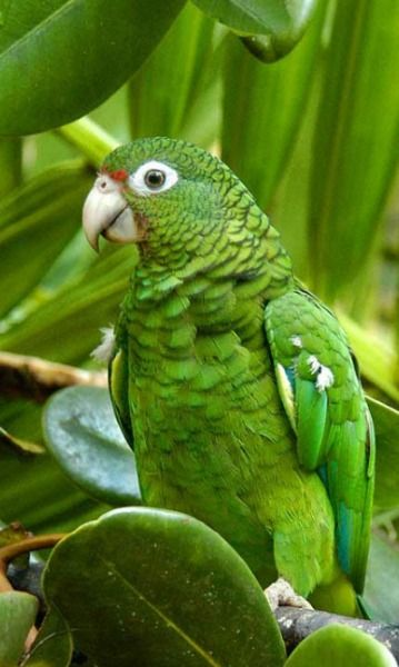 """Papagaio ave de penas verdes, muito sofrido, devido ao comércio de aves ilegal. São retirados dos ninhos ainda sem penas e transportados em gaiolas, amontoados, muitos morrem nessas gaiolas. Ave que imita a voz humana, muito dóceis, quando se acostuma com os humanos, pousam em seus ombros, e apesar do bico ser muito cortante, só ataca estranhos e quando se sentem ameaçados. Foi astro de cinema um da espécie """"Polly""""."""