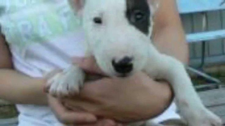 【ヤバイ!キュン死する】萌え〜♪超かわいい♪ミニチュアブルテリアの赤ちゃん(Cute puppy /귀여운 강아지 / chiot mignon...