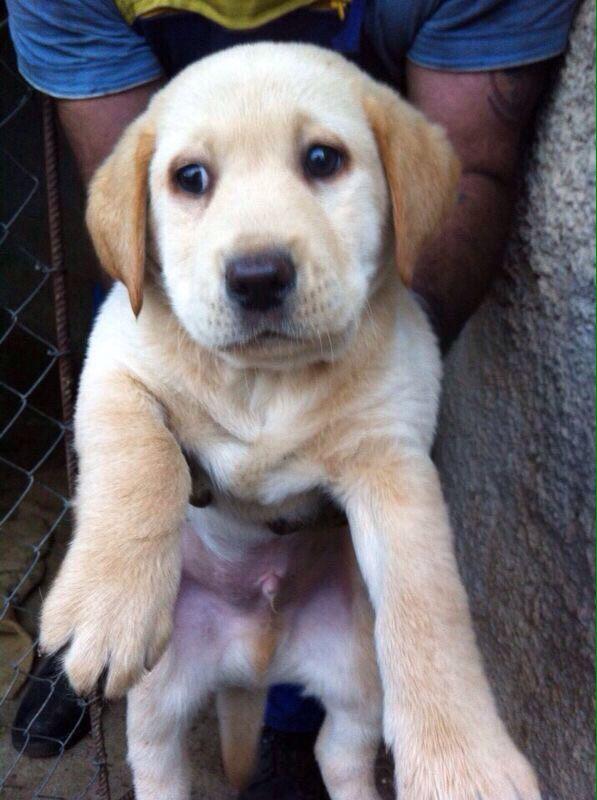 Baby Elvis , Labrador :)