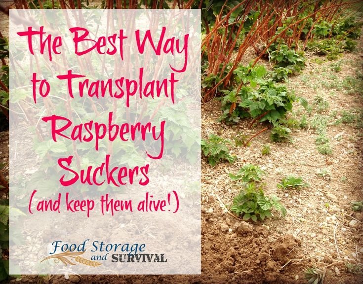 The Best Way to Transplant Raspberry Suckers (and Keep them Alive!) - Food Storage and Survival