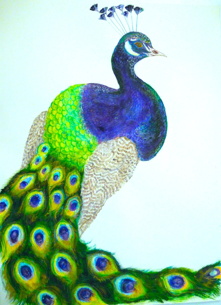 Nyig's Peacock (Pavo cristatus)