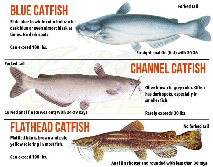 Blue Catfish Google Search Fishing Pinterest Blue