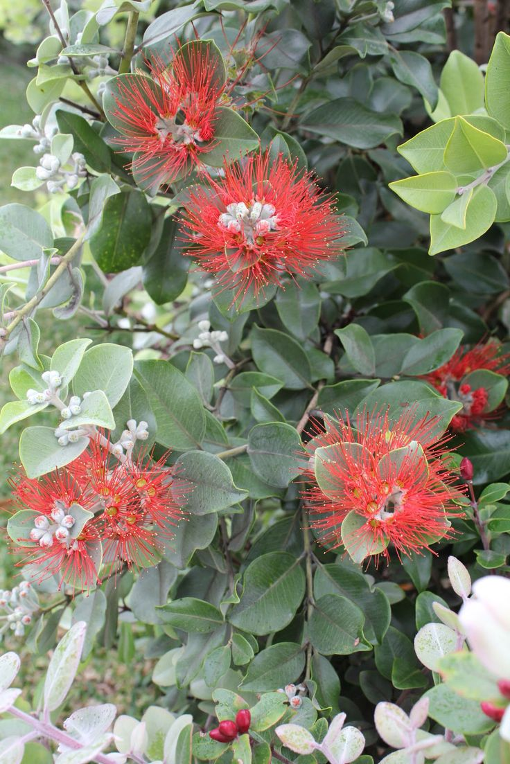 NZ Christmas Bush Hedge