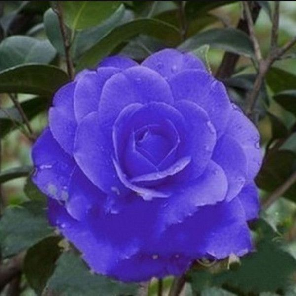 camellia flower pictures - Google Search