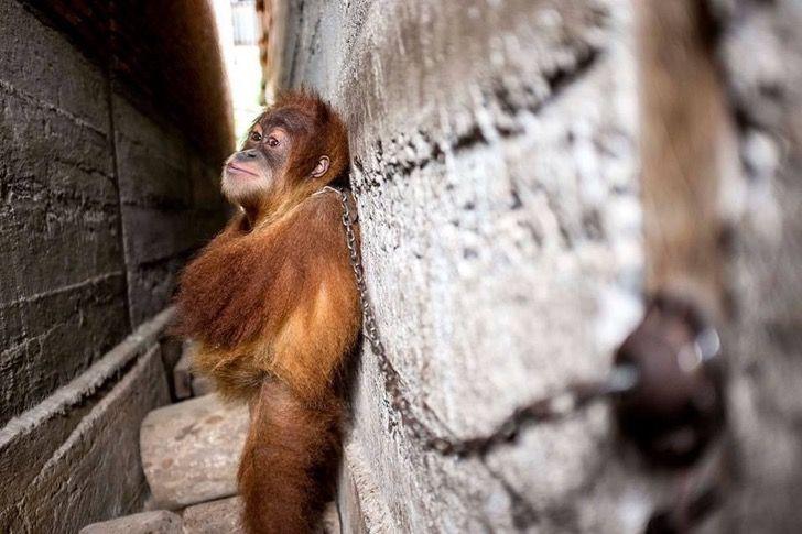 Este indefenso bebé orangután estuvo encadenado entre dos murallas de cemento por un año entero