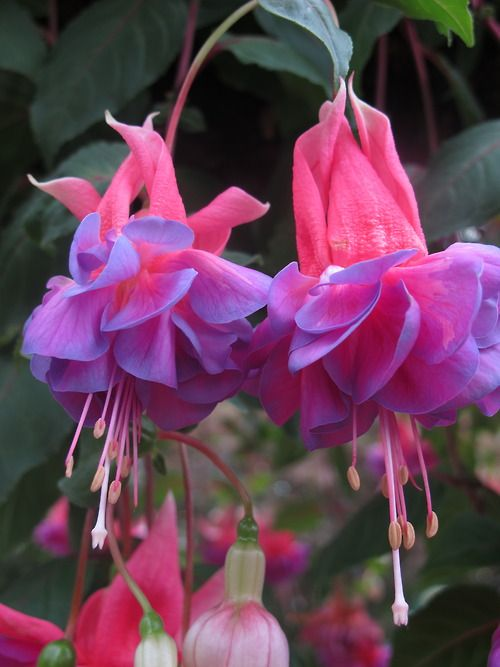 Fuchsia - hummingbirds love these!