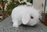 Mini & dwarf lop rabbits available,, Both, , A beautiful