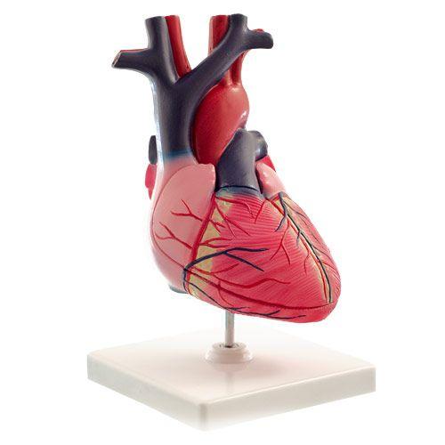 Anatomische Modellen : Menselijk hart - 2 delig