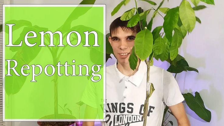 Transplantare Lamai / Repotting lemon tree  Salut! Am transplantat un lămai plantat din semințe, și i-am pus un ghiveci potrivit pentru el. Sper că va evolua.  Hello! I repotted lemon planted from seed, and I put him perfect pot. I hope it will evolve.
