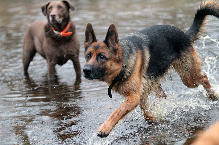 berger allemand et labrador marron