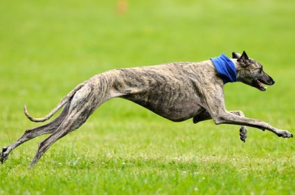 greyhound | Greyhound History and Health Temperament & Personality Appearance ...