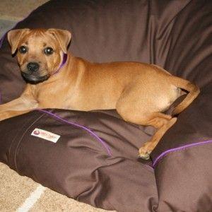Staffy puppy, Bindi on her new pet bean bag