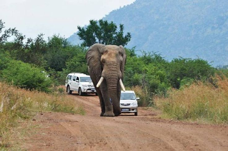 Photo 1    When you are feeling rushed and in a hurry, maybe it is time to stop and appreciate the wonder all around you  in the Pilanesberg game reserve, South Africa. The guy in the white Volkswagen was trying to get past the elephant. There simply is not enough road for the both of them.  (according to the elephant)