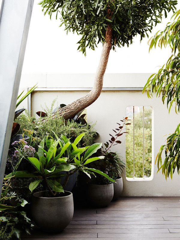 A tall potted 'Cabbage tree' (Cussonia spicata) lends a sense of scale to the North East corner of the balcony. Photo – Annette O'Brien for The Design Files.