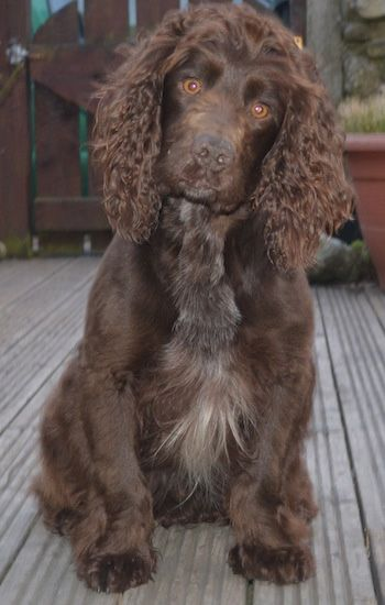 English Cocker Spaniel Dog Breed Information and Pictures