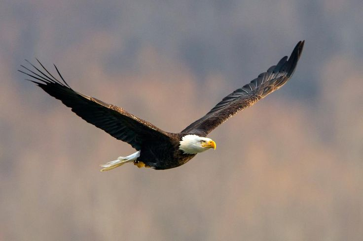 conowingo dam bald eagles | ... , but in the above image, the eagle is taking off with its catch