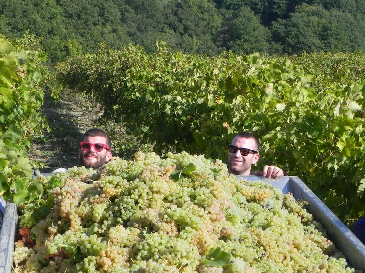 Vendemmia | Grape Harvest 2013 www.oliocimicchi.com