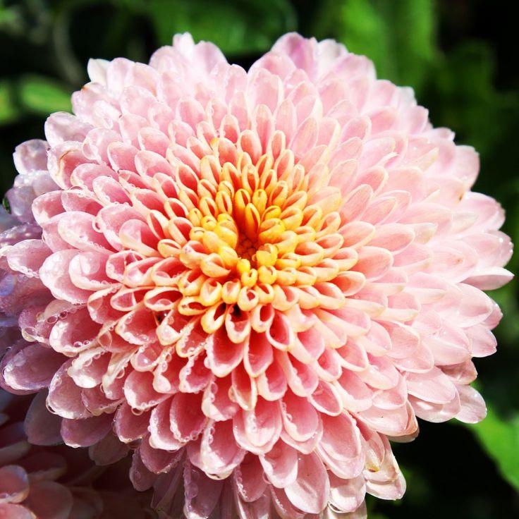 Chrysanthemum Morifolium Showbizz