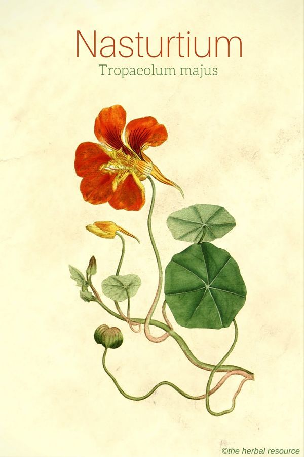Nasturtium Tropaeolum majus