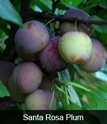 3 of the Best Plum Varieties from One Amazing Tree only Italian plum I've found for MO