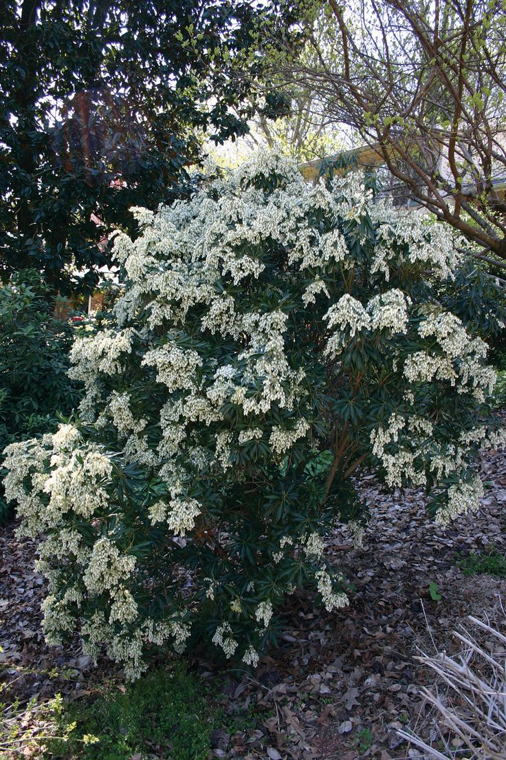 Best 10 shrubs for shade ideas on pinterest shrubs landscaping sunless success 15 great easy to grow shrubs for shade virginia dhlflorist Gallery