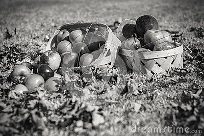 Baskets Of Autumn Apples In Bright Sunlight - Download From Over 57 Million High Quality Stock Photos, Images, Vectors. Sign up for FREE today. Image: 87882876