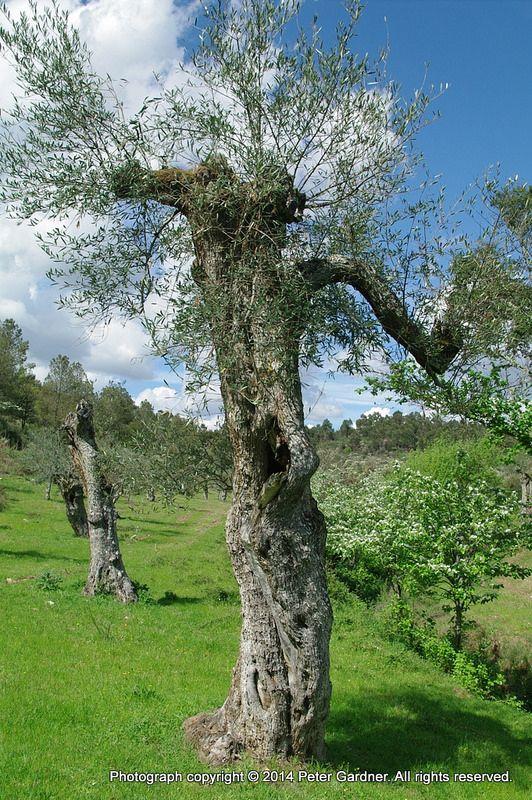 Centenarian olive trees