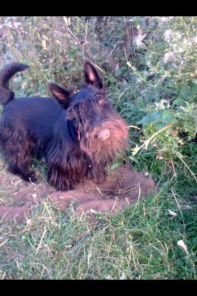 how to stop a dog from digging for moles