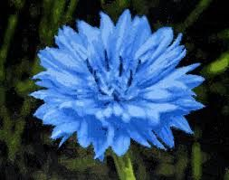 Our pick of the week is Centaurea. Also called Cornflower, Bachelor's Button or Bluebottle. Its flower meaning is delicacy...