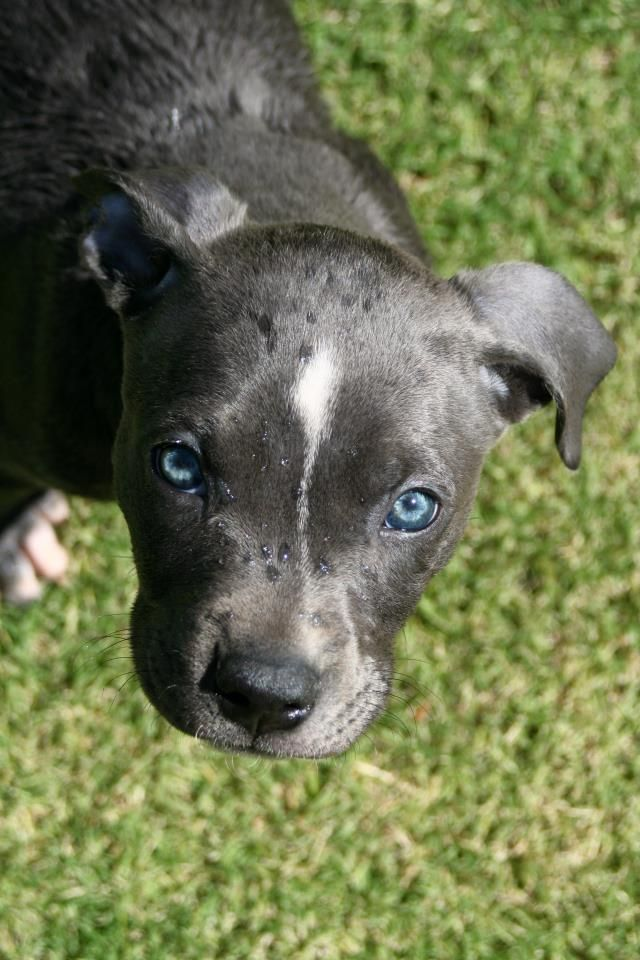45 Best Images About Blue Nose Pitbulls On Pinterest