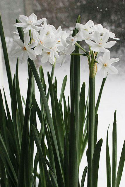 .: Paperwhit Christmas, Gardens Flowers Pl, Perennials Gardens, Paper White, White Flowers, Beautiful Flowers, Winter Flowers, Make Flowers, Flowers Plants Grass