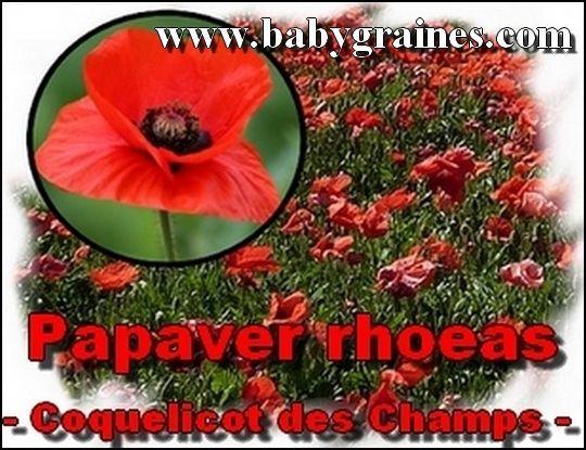 Papaver Rhoeas , Coquelicot des Champs