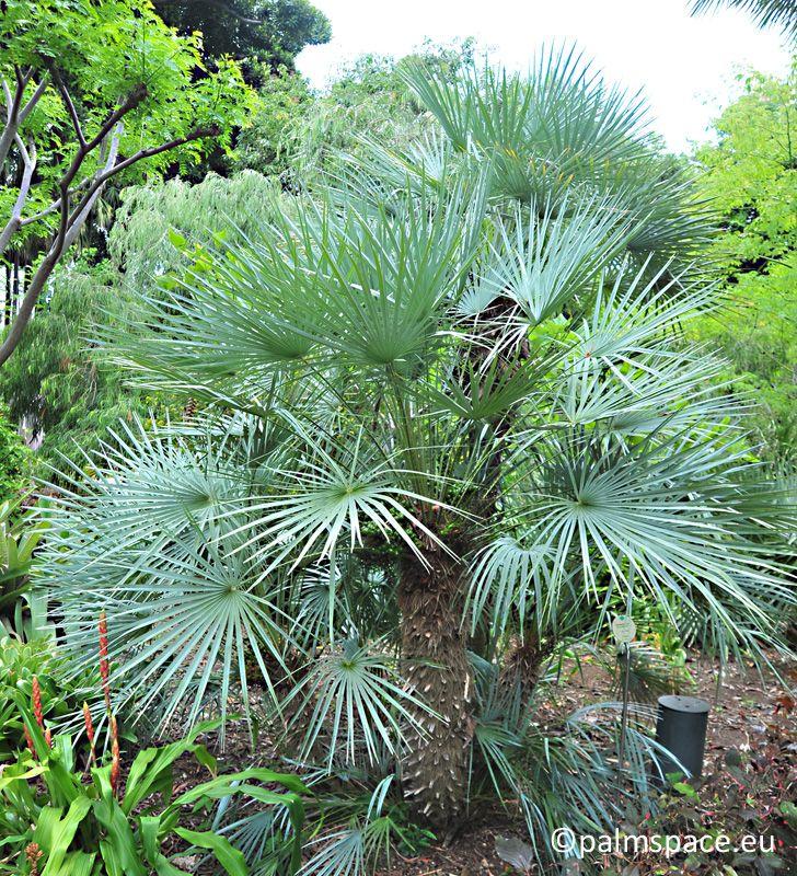 Chamaerops humilis var argentea palmera palmito azul jardin botanico tenerife palspace palmera jardin botanico tenerife palmspace