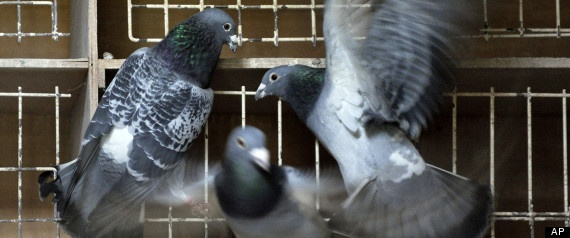 """Belgian Pigeon """"Bolt""""  Most Expensive Racing Pigeon on the World"""