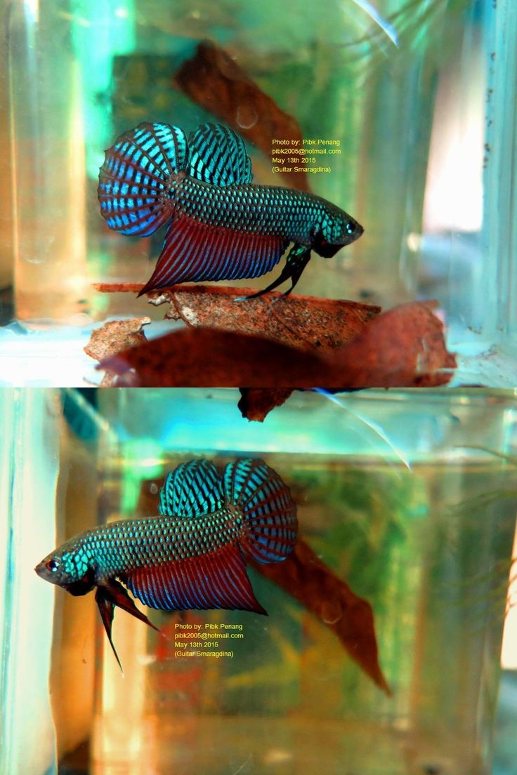 54 best images about wild bettas on pinterest copper for Rare types of betta fish