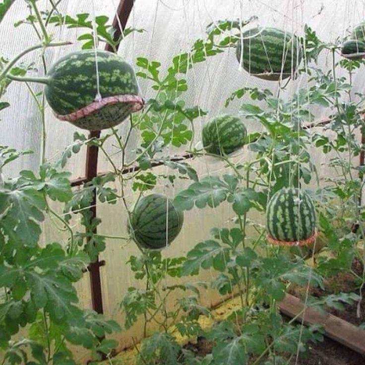 Growing Watermelons | Fruit trees garden design, Garden trees